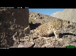 Hunting for snow leopards: rare shots from a mountain expedition brought by Novosibirsk