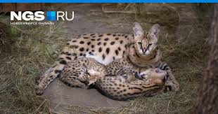 Little kinkajou artificially fed in the Novosibirsk Zoo