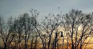 Siberia: as in the Hitchcock film The birds, flocks of crows attack Novosibirsk